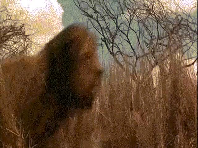 Đàn sư tử châu Phi tàn sát 1.500 người đẫm máu nhất lịch sử - 6