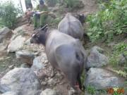 An ninh Xã hội - Bắt thủ phạm chém đứt gân hàng chục con trâu ở Thanh Hóa
