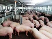 Thị trường - Tiêu dùng - Xem xét giãn nợ, miễn giảm lãi cho các tổ chức, cá nhân vay để chăn nuôi lợn