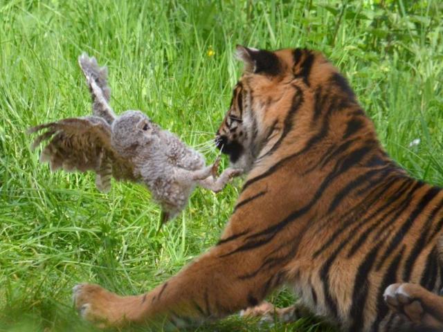 TQ: Ném con lừa sống vào chuồng có 3 hổ đói - 3