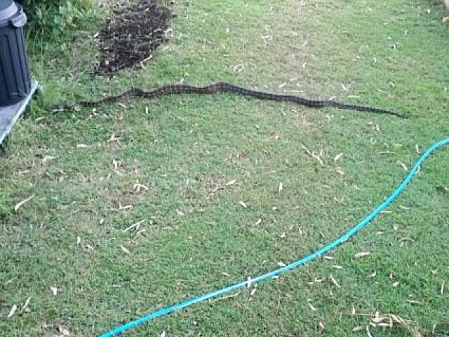 Ra vườn nhặt cành cây, không ngờ là rắn dài 2m