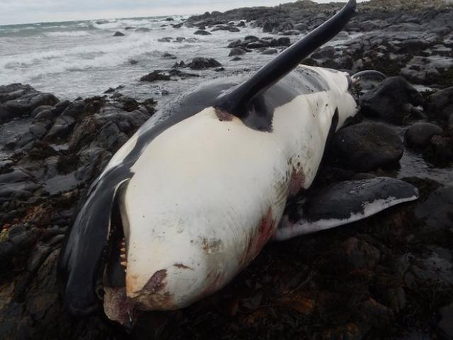 """Xác cá voi khổng lồ liên tiếp """"cập bờ"""" biển Anh - 6"""