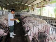 Thị trường - Tiêu dùng - Giải cứu nông dân nuôi lợn: Bộ Tài chính, Công Thương vào cuộc