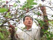 """Thị trường - Tiêu dùng - """"Câu"""" mỗi năm 200 triệu đồng từ trồng dâu ta ăn quả"""