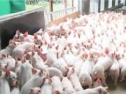"""Thị trường - Tiêu dùng - Quảng Ninh bàn cách """"giải cứu"""" người nuôi lợn"""