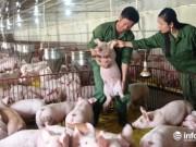 Thị trường - Tiêu dùng - Hà Tĩnh: DN toát mồ hôi, xoay sở mọi cách... giải cứu lợn