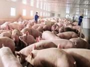 Thị trường - Tiêu dùng - Được giải cứu, giá lợn hơi tăng nhanh 5.000- 7.000 đồng/kg