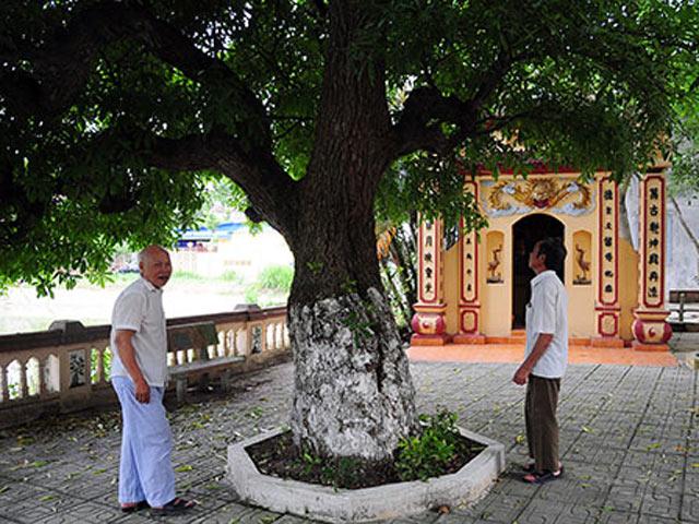 Cận cảnh cây thị gần 600 tuổi, cả làng không ai dám mạo phạm - 13