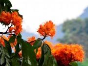 Ngắm hoa vàng anh,  ' đặc sản '  của rừng Cúc Phương