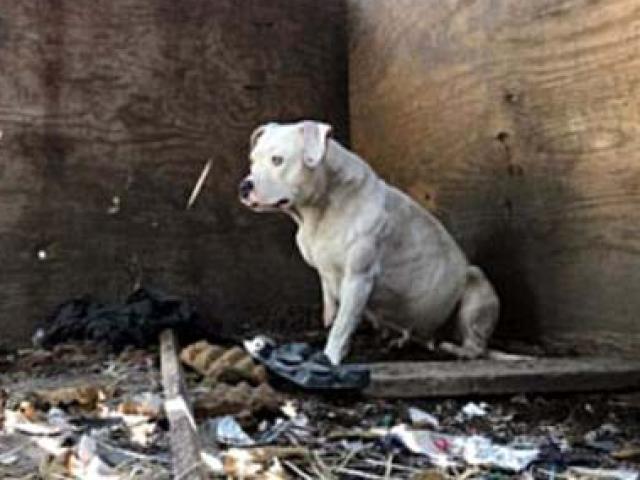 84 chó khổng lồ bị nhốt trong biệt thự siêu bẩn ở Mỹ - ảnh 6