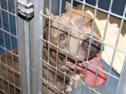 Thế giới - Mỹ: Chó pit bull nhà nuôi vồ đến chết bé gái 6 tháng