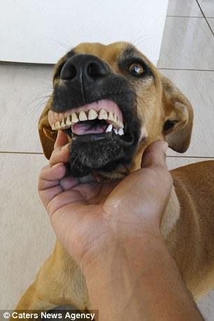 Chú chó nổi tiếng vì có hàm...răng người - 2