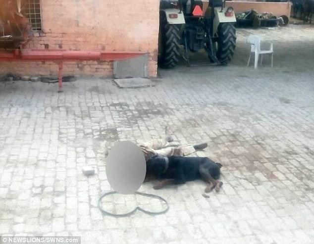 Ấn Độ: Chủ bị chó nuôi cắn chết, ăn xác - 1