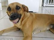 Phi thường - kỳ quặc - Chú chó nổi tiếng vì có hàm...răng người