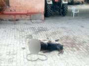 Thế giới - Ấn Độ: Chủ bị chó nuôi cắn chết, ăn xác