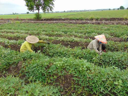 Trồng khoai lang trên đất lúa thu lãi trên 10 triệu đồng/công - 2