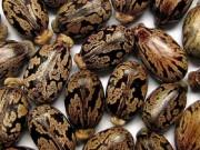Sức khỏe đời sống - Loại hạt dễ ngộ độc nếu vô tình ăn phải mà bạn có thể chưa biết