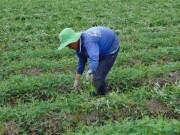 Thị trường - Tiêu dùng - Trồng khoai lang trên đất lúa thu lãi trên 10 triệu đồng/công