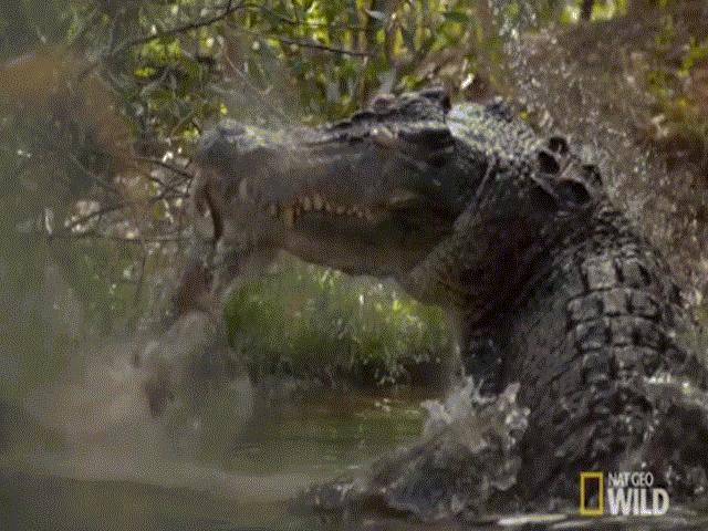 Cá sấu khổng lồ chớp nhoáng tung người xé đôi kangaroo
