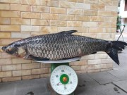 """Tin tức trong ngày - Cần thủ câu được cá trắm đen """"khủng"""" 41kg ở lòng hồ sông Đà"""