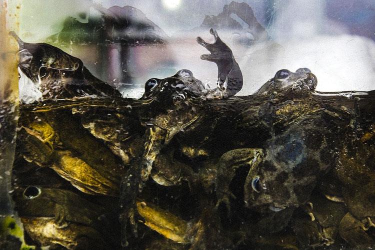 """Kinh hoàng sinh tố ếch tươi giúp quý ông mãnh liệt trong """"chuyện ấy"""" - 7"""