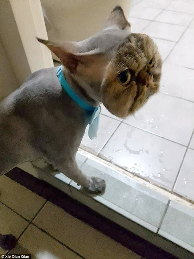 Đưa mèo đi tỉa lông, sốc khi đón về - 1