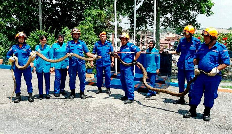 Malaysia: Dân khiếp hãi vì hổ mang chúa khổng lồ dài 6m - 1