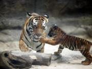 Tài chính - Bất động sản - Mỗi con hổ ở Thảo Cầm Viên 'xơi' 1 triệu đồng/ngày