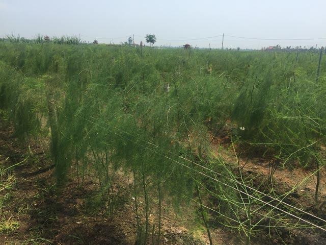 Cầm chắc 200 triệu đồng/năm từ 5 sào măng tây xanh - 2