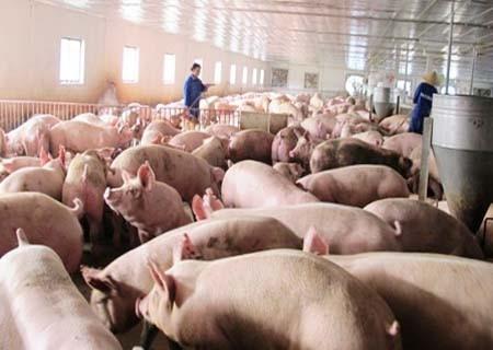 """Vẫn còn """"tồn"""" 1,5 triệu con lợn chưa được """"giải cứu"""" - 1"""