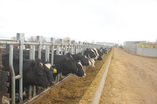 Vinamilk nhập hơn 2.000 con bò sữa cao sản từ Mỹ - 2