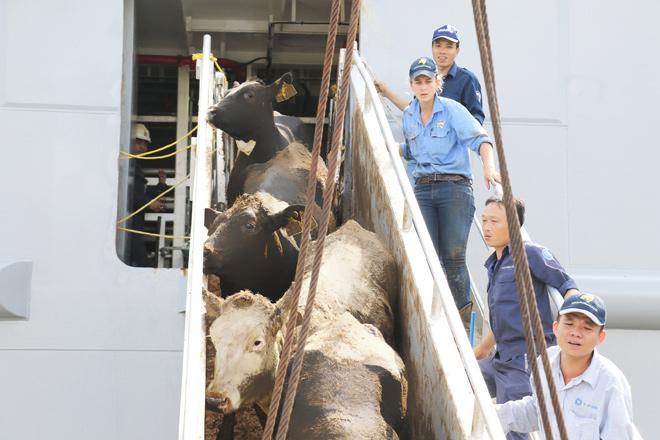 Vinamilk nhập hơn 2.000 con bò sữa cao sản từ Mỹ - 5