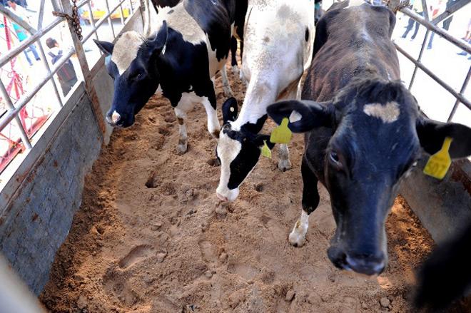Vinamilk nhập hơn 2.000 con bò sữa cao sản từ Mỹ - 4