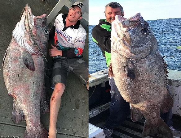 """Úc: Đi câu cá 3kg, bắt được """"quái vật"""" khổng lồ 70kg - 1"""