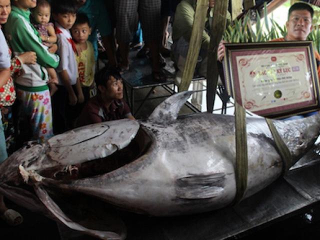 """Cần thủ Việt liên tục câu được cá ngừ """"khủng"""" trên vùng biển Trường Sa - 3"""