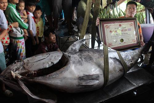 """Cá ngừ vây xanh """"khủng"""" chưa từng thấy lập kỷ lục VN - 1"""