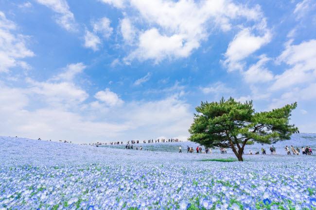 Say đắm trước hàng triệu bông hoa mắt xanh bung nở ở Nhật-1