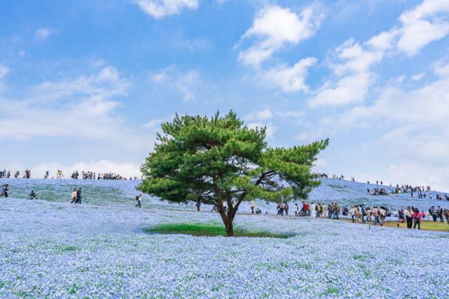 Say đắm trước hàng triệu bông hoa mắt xanh bung nở ở Nhật-2