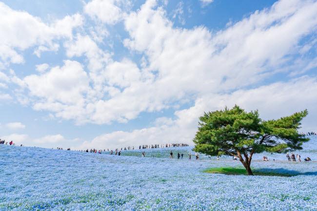 Say đắm trước hàng triệu bông hoa mắt xanh bung nở ở Nhật-3