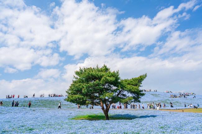 Say đắm trước hàng triệu bông hoa mắt xanh bung nở ở Nhật-4