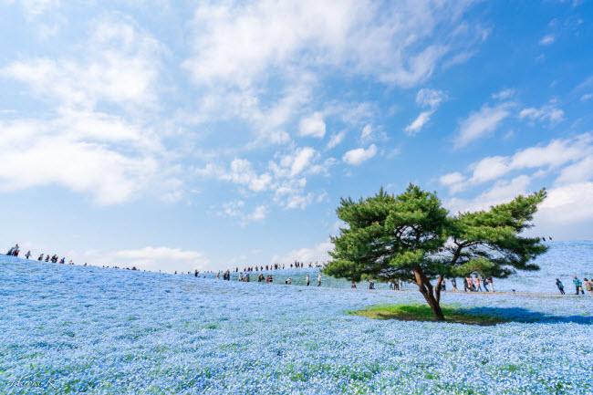 Say đắm trước hàng triệu bông hoa mắt xanh bung nở ở Nhật-5