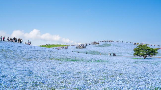 Say đắm trước hàng triệu bông hoa mắt xanh bung nở ở Nhật-6