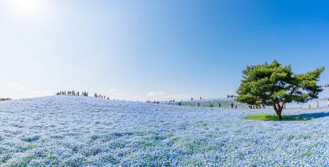 Say đắm trước hàng triệu bông hoa mắt xanh bung nở ở Nhật - 7