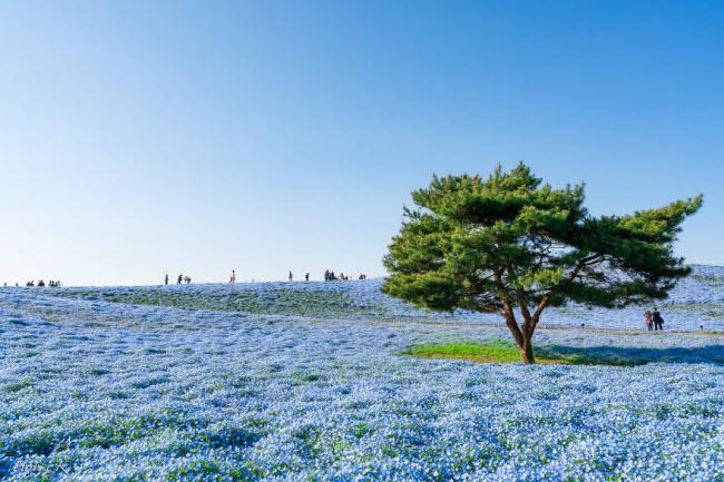 Say đắm trước hàng triệu bông hoa mắt xanh bung nở ở Nhật-8