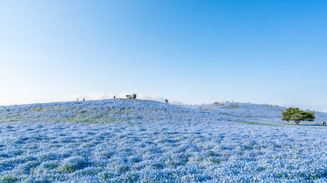 Say đắm trước hàng triệu bông hoa mắt xanh bung nở ở Nhật-9