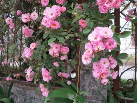 Ngắm vẻ đẹp kiêu sa, khó cưỡng của hồng leo Sa Pa-4