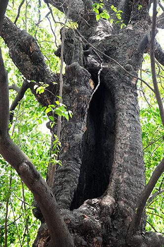 Kì lạ cây thị gần 600 tuổi phát ra tiếng động lạ lúc nửa đêm - ảnh 4