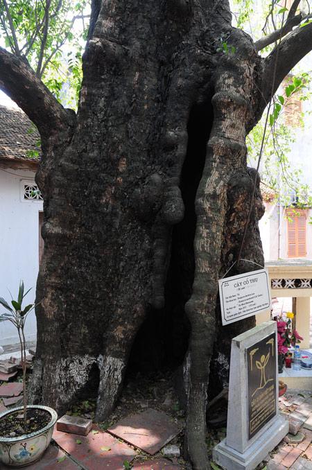 Cận cảnh cây thị gần 600 tuổi, cả làng không ai dám mạo phạm - 3