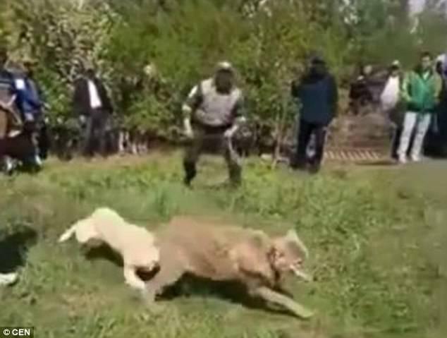 Chó sói khổ sở chống đỡ chó nhà trong trận chiến sinh tử 2