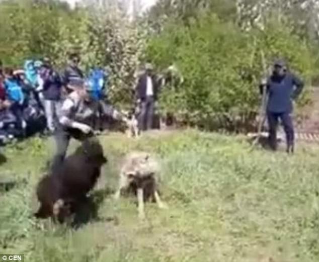 Chó sói khổ sở chống đỡ chó nhà trong trận chiến sinh tử 3